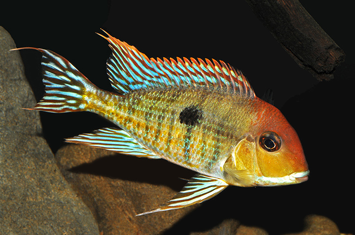 Geophagus-Tapajos-Red-head_web.jpg